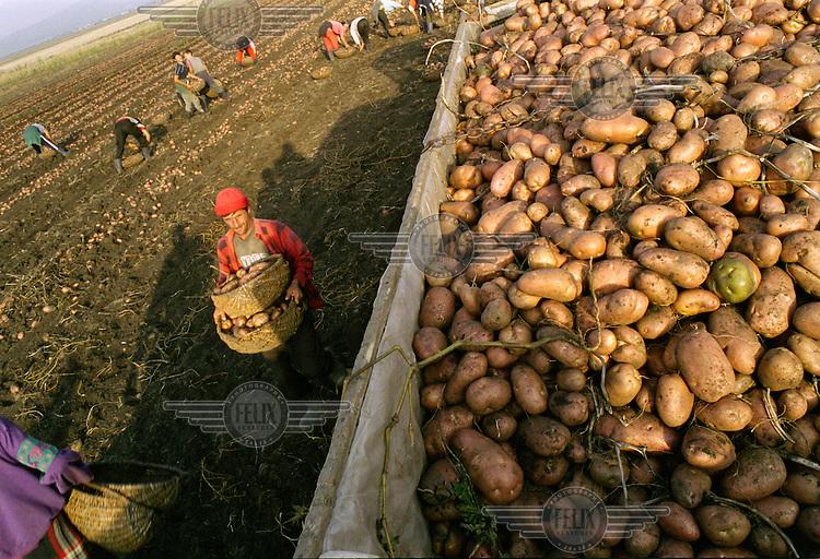 Seasonal labourers load the potato harvest onto a tractor on a farm...