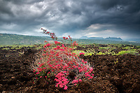 Bougainvillea in AA lava field, Hawaii Volcanoes National Park, Hawaii Island