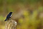 Oriental Magpie-Robin (Copsychus saularis) male, Tawau Hills Park, Sabah, Borneo, Malaysia