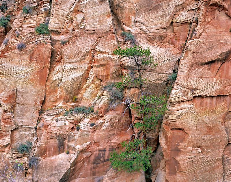 Ponderosa Pine tree growing in sandstone cliff. Zion National Park, Utah
