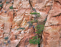 Ponderosa Pine tree growing in sandstone cliff. Zion National Park, Utah