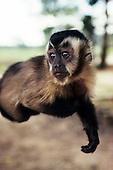 Pantanal, Mato Grosso State, Brazil; mono monkey.