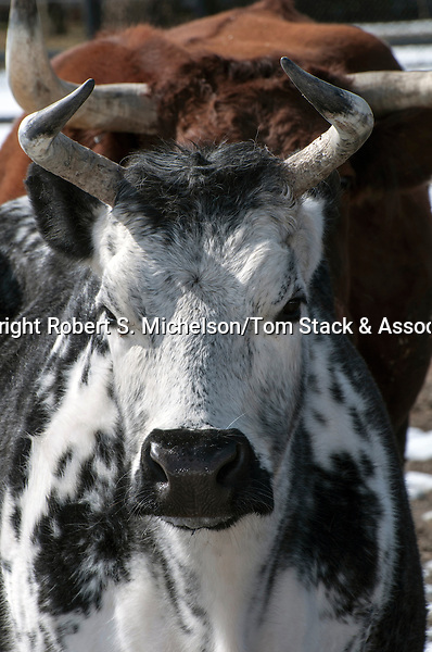 randall lineback cow, close-up of head face view