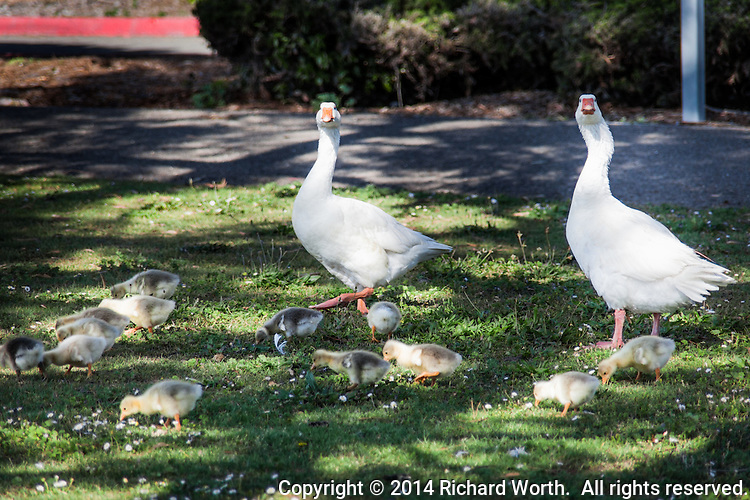 Two adult domestic geese cast wary looks at the approaching potential danger to their brood of goslings.