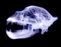 X-Ray of Kodiak bear skull (Ursus arctos middendorffi)