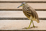 Indian Pond Heron (Ardeola grayii), Sigiriya, Sri Lanka
