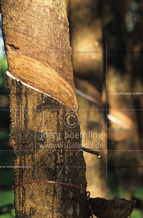 INDIA Karnataka, rubber tree plantation, from the milky Latex juice products like tyre condoms and other rubber parts are produced / INDIEN Karnataka, Kautschuk Baeume auf einer Plantage , anzapfen der Baeume am frühen Morgen, aus dem Latex Saft der Kautschukbaeume werden Produkte wie Kondome Einweghandschuhe Gummiteile Latex Matratzen Reifen hergestellt