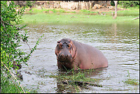 BNPS.co.uk (01202 558833).Pic: MikeD.Kock/BNPS..***Please use full byline***..Back to nature.....How many vets does it take to round up a Hippo...(12)?..A dangerous lesson in how to safely give medicine to a two-tonne hungry hippo has been captured on camera by a veterinarian...Wildlife vet Michael Kock, 60, organised the risky operation in Zimbabwe, where experts were trying out a new dosage of drugs on the huge mammal...While veterinary students looked on and took notes the lethal animal was brought under control in crocodile infested waters after it was shot with a sedation dart...The exercise was organised to teach pupils how to safely give medicine to sick animals without putting themselves or the creatures in harm's way...The new mixture of drugs the vets used was designed to make the beast docile enough for people to get up close to, but not too sleepy the hippo would drown in the water...Until recently whenever wildlife experts have had to sedate a poorly hippo in order to give it medicine it often resulted in the animal drowning...Around 35 per cent of the hippos would drown because the drugs would temporarily knock out the animals' dive reflex, which allows them to breath under water...
