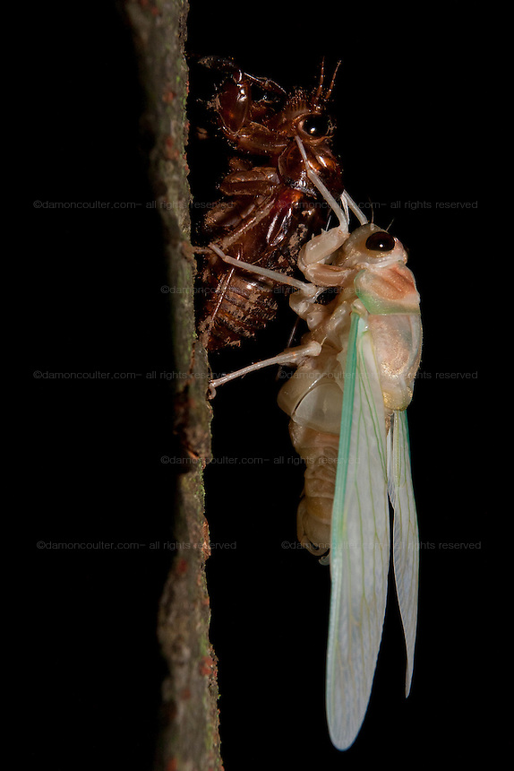 Cicadas (Tanna japonensis) drying its wings after emerging from its instar stage in a Park in Machida, Tokyo, Japan. Saturday August 6th 2011