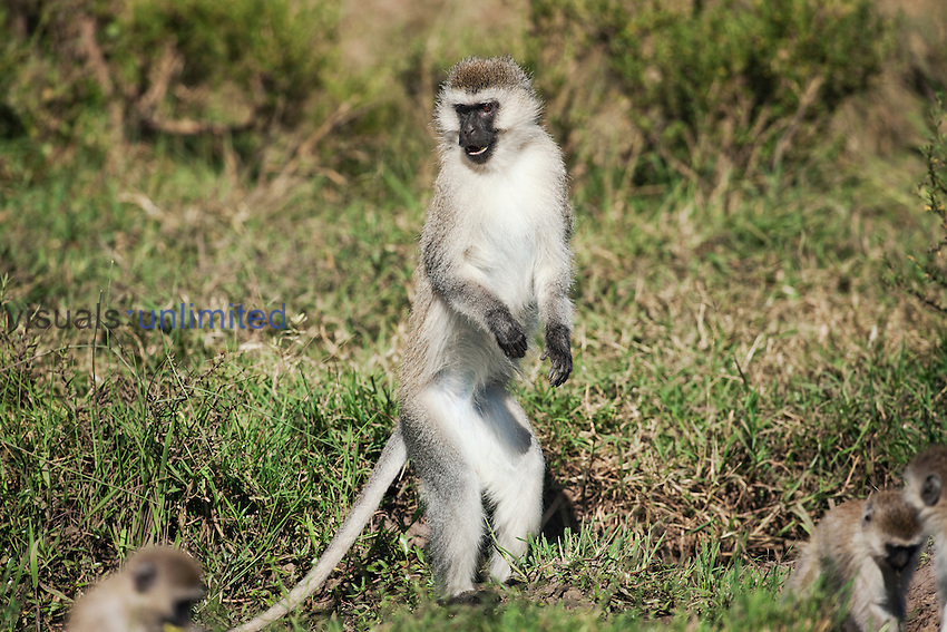 Vervet Monkey male standing on his hind legs watching (Cercopithecus aethiops), Maasai Mara National Reserve, Kenya.