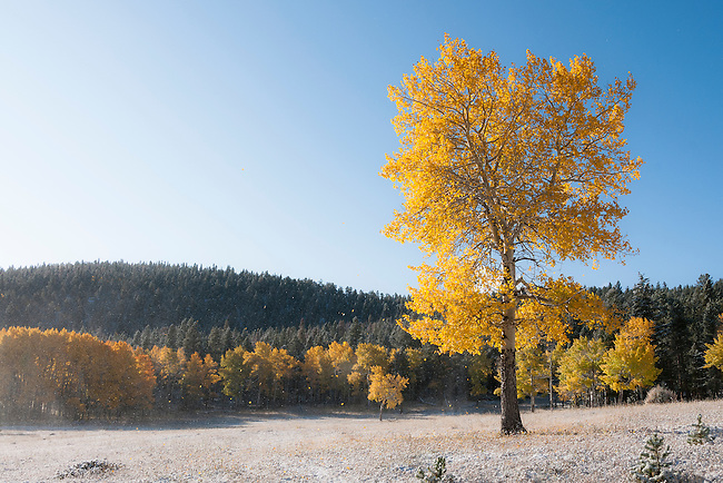 fall, color, aspen, Populus tremuloides, October, morning, autumn, snow, scenic, Little Horseshoe Park, Rocky Mountain National Park, Colorado, Rocky Mountains, USA