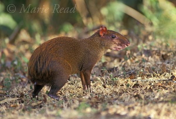 Central American Agouti (Dasyprocta punctata), adult, Gamboa, Panama<br /> Slide # M15-17