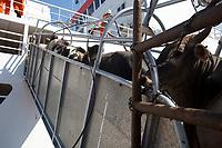 O navio ABOU KARIM de bandeira libanesa, carrega  e tripulação síria 3.500 cabeças de gado com destino a Venezuela, <br /> Foto Paulo Santos<br /> Porto de Vila do  Conde, Barcarena, Pará, Brasil.<br /> 08/10/2013