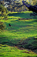 A steer grazes on the lush green pasture land of Mauna Kea on the Big Island of Hawaii