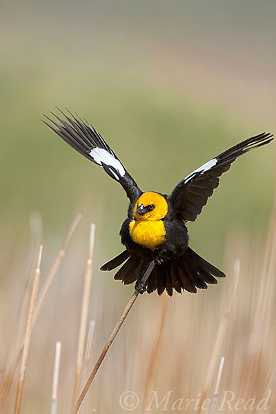 Yellow-headed Blackbird (Xanthocephalus xanthocephalus) male calling and performing courtship display in cattail marsh, Mono Lake Basin, California, USA