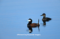00775-00117  Ruddy Duck (Oxyura jamaicensis) male & female in wetland Waubay NWR Mgmt Area Waubay SD