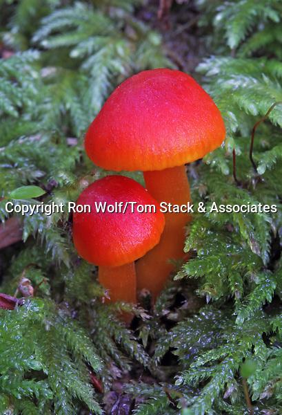 Miniature Waxy Caps (Hygrocybe miniata). Portola Redwoods State Park. San Mateo Co., Calif.