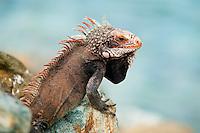 Closeup of wild iguana on the rocks at St. Thomas.