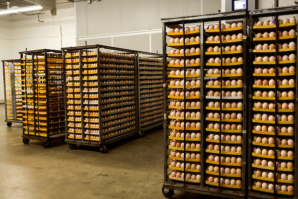 """July 24, 2015. Candor, North Carolina.<br />  At the Eagle Springs Hatchery, which turns over 1.1 million chicks a week, eggs from Western North Carolina arrive to be incubated, or """"set"""" and then hatched. Each egg batch is labeled with the farm that produced it, as well as the day it was hatched. This helps the hatchery notify its producers if any of their eggs are not up to the standards required for antibiotic free use.<br />  Chicken producer Perdue Farms Inc. has become the first major poultry company to attempt to raise more than half of its flock with no antibiotics, human or for animals only. As demand for meats free of medicines has risen, Perdue has upgraded their facilities to increase cleanliness and sterility to allow the company to cut antibiotics out of the chicken hatching process."""