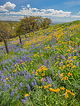 Columbia Hills State Park, WA: Hillside of lupine and balsamroot with fence line under blue skies