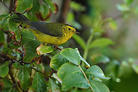 Wilson's Warbler (Cardellina pusilla) is a small New World warbler. It is primarily greenish above and yellow below, with rounded wings and a long, slim tail.