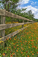 A vertical format image of Indian blanket wildflowers with other yellow wildflowers possibly Damianta growing along a fence in the Texas Hill Country in the back roads in texas.  Wildflower grow in Texas through out the summer depending on the amount of rain they receive.  Indian blanket or firewheels seem to blanket the road here for a colorful display of reds and yellow along this wooden fence.