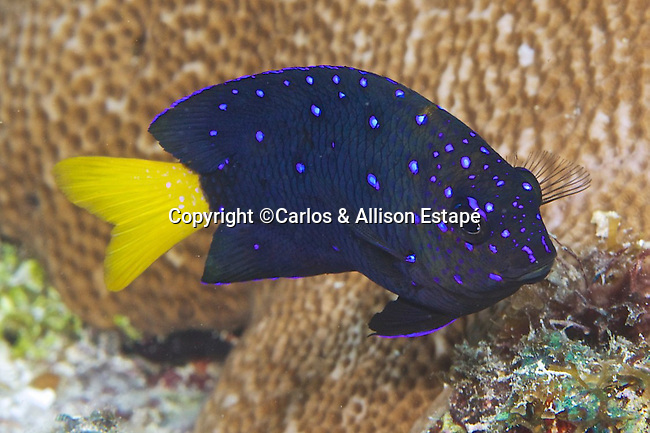 Microspathodon chrysurus, Yellowtail damselfish, Florida Keys