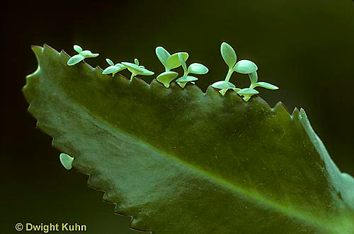 HS04-004a  Asexual Reproduction - tiny leaves forming to make new Kalanchoe plant