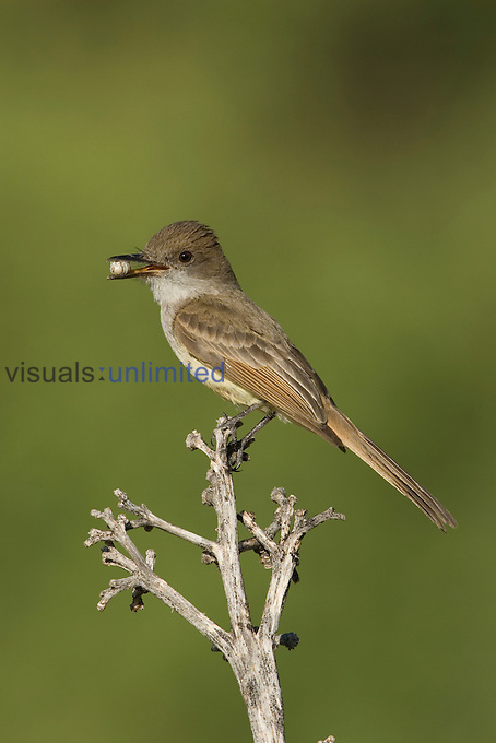 Dusky-capped Flycatcher (Myiarchus tuberculifer) with food in its bill, Huachuca Mountains, Southern Arizona, USA.