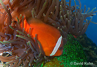 0322-1103  Tomato Clownfish, Amphiprion frenatus, with Bubble-tip Anemone, Entacmaea quadricolor  © David Kuhn/Dwight Kuhn Photography