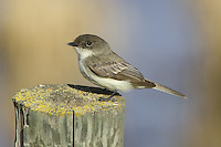 Eastern Phoebe perched on a fence post