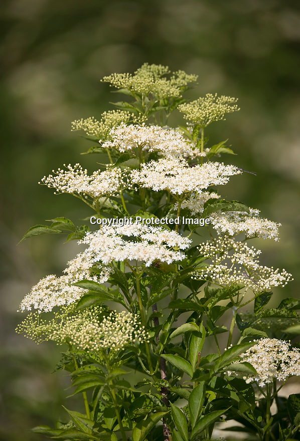 12/07/18<br /> <br /> Elderflowers at Belvoir Fruit Farms - Britain's only elderflower plantation near Branston, Leicestershire. Thanks to this year's warm weather, pickers, who are paid by the weight of the tiny flowers they harvest for the drinks maker, are expected to gather a record-breaking 60 tons of elderflower.<br /> <br /> All Rights Reserved F Stop Press Ltd. +44 (0)1335 344240 +44 (0)7765 242650  www.fstoppress.com