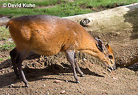 0601-1108  Red-flanked Duiker, Cephalophus rufilatus  © David Kuhn/Dwight Kuhn Photography