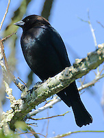 Adult male brown-headed cowbird