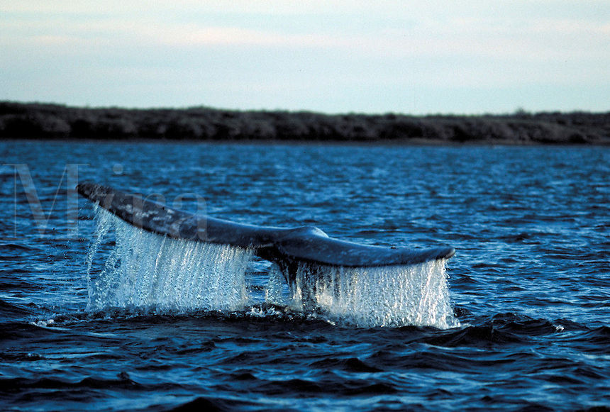 A Grey whale dives, flipping its tail fin. Baja California, Sur Mexico, Magdelena Bay.