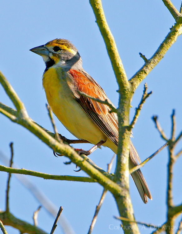 Adult male dickcissel in breeding plumage in tree