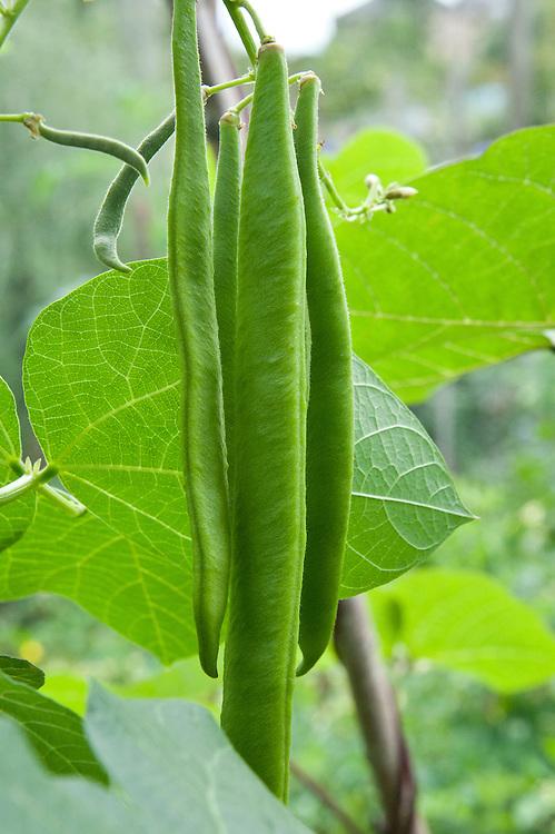 'Moonlight' runner beans, early August.