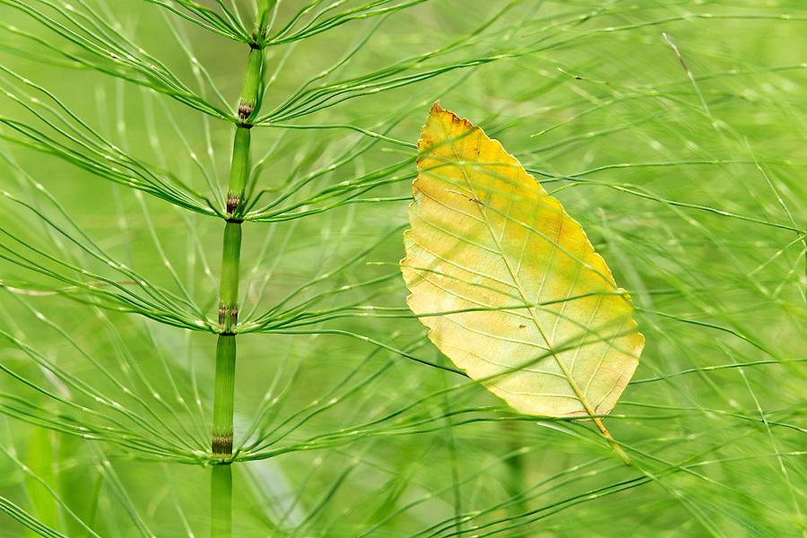 Yellow alder leaf caught in common horsetail, Longmire, Mount Rainier National Park, Washington, USA