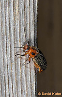 0511-1002  Soldier Beetle, Two-lined Leather-wing, Atalantycha bilineata  © David Kuhn/Dwight Kuhn Photography.