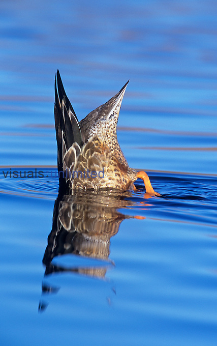 A Northern Shoveler hen ,Anas clypeata, diving in water, North America.