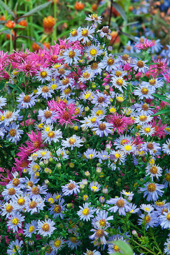 Asters in bloom.