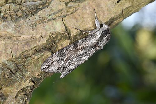 Convolvulus Hawk-moth - Agrius convolvuli