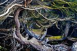 USA, California, Monterey cypress