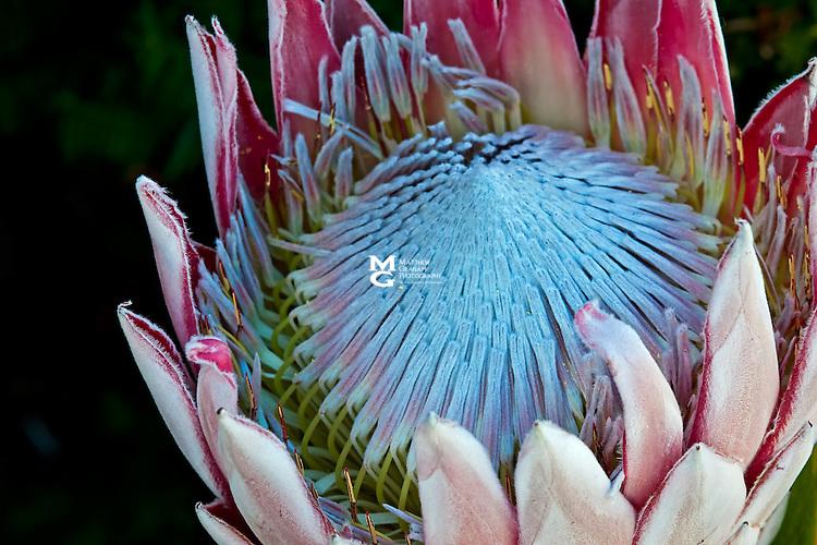 King Protea - Protea cynaroides