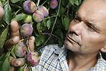 Foto: VidiPhoto<br /> <br /> SLIJK-EWIJK – De grootste pruimenteler van ons land, Frederik Bunt in Slijk-Ewijk, toont maandag de forse zonnebrand aan zijn wijnpruimen. Door de extreme en uitzonderlijke hitte en zonnekracht, is 10-30 procent van zijn oogst vernietigd. Collega's in het hele land met zacht- en steenfruit (fruit met een pit) hebben soortgelijke schade. Dinsdagavond is er crisisberaad in de sector en wordt ook het totale verlies aan het gewas becijferd. Volgens Bunt is dat afhankelijk van ras en grondsoort. Pruimen met hitteschade gaan rotten en kunnen bovendien de rest van de oogst bederven als ze niet tijdig worden verwijderd. Dat betekent dat de strop nog vele malen groter wordt als er geen actie wordt ondernomen door de telers. Ook peren en appels zijn vorige week verbrand, maar de schade daarvan moet nog geïnventariseerd worden. Ongeveer de helft van de telers heeft door gebrek aan (schoon) water niet kunnen beregenen en daarmee het fruit kunnen beschermen. Volgens Bunt is de Betuwe het fruitgebied waar vorige week de hoogste temperaturen zijn gemeten.