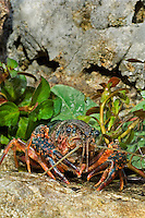 414490014 a wild pocambarus species of crayfish sits in aquatic plants in a small pond on a ranch in south texas