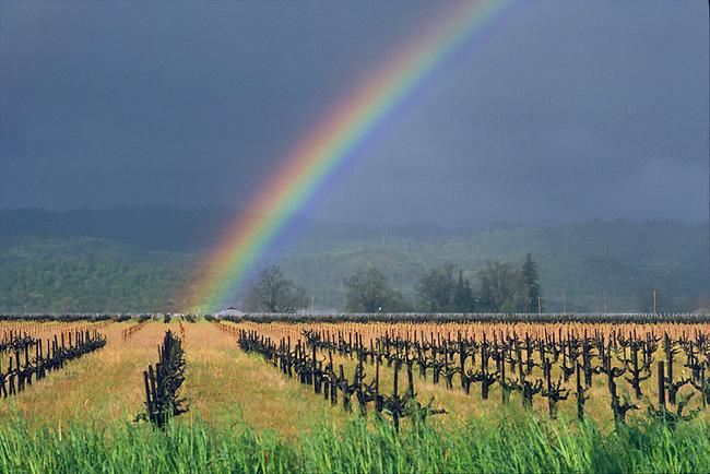 "Vineyard Rainbow above old-style ""head-pruned"" vines.  Vineyard is south of St. Helena on Highway 29."