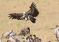 Vulture Feeding Gathering  Kenya 2015