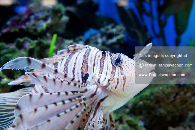 A Volitan lionfish (Pterois volitan - Rascasse volante) is pictured at the Aquarium du Quebec in Quebec city March 2, 2010. The Aquarium is the home of 10,000 marine animals including fish, reptiles, amphibians, invertebrates, and sea mammals.