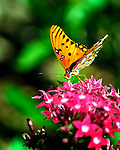 Orange Passion Butterfly (Gulf Fritillary) on a pink pentas flower
